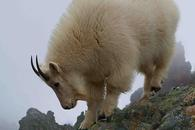Mount Ellinor Mountain Goats