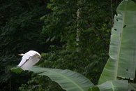 Egret taking off from a Banana tree at Geckoes