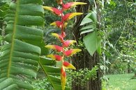 Heliconia in Geckoes garden