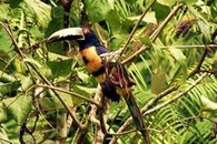 Collared Aracari Toucan at Geckoes