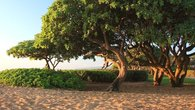 Beautiful trees at Waipouli Beach Resort