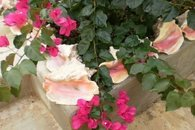 Bougainvillea and conch