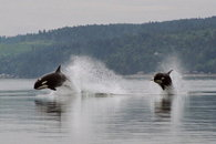 orcas at hood canal