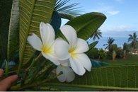 Frangipani flowers outside the door of Bula Vista, Savusavu, Fiji