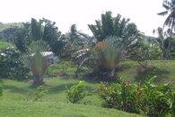 Travelers palms, Bula Vista, Savusavu, Fiji