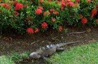 Iguana visit